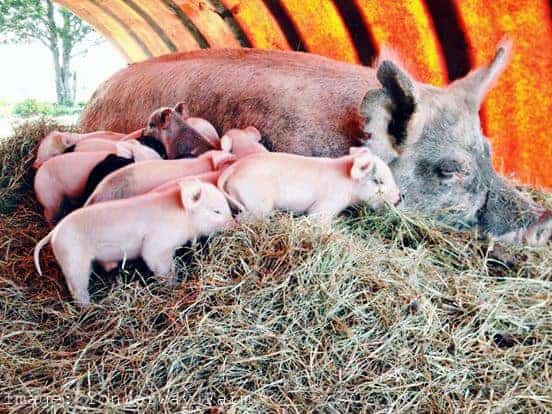 Visit a Farm Sow and Piglets