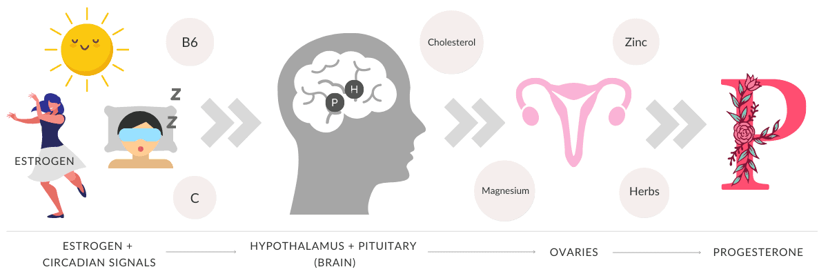 Graphic showing how progesterone is made from estrogen, circadian signals and hormones in the brain, and nutrients